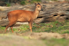 Natal duiker. The natal duiket standing in the grass Royalty Free Stock Photos