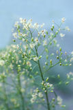 Natal flower grass in soft light blurry background. Texture Royalty Free Stock Images