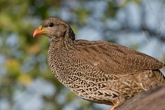 Natal Francolin Stock Photo