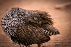 Natal francolin. An african natal francolin at sunrise Stock Images