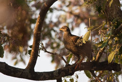 Natal francolin Royalty Free Stock Photos