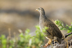 Natal francolin in Kruger National park Royalty Free Stock Photos