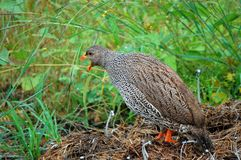 Natal francolin (Pternistes natalensis) Stock Photos
