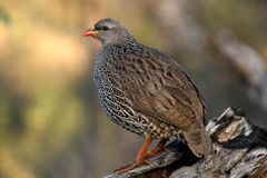 Natal francolin (Pternistes natalensis) Stock Photography