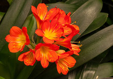 Natal Lily Royalty-vrije Stock Afbeelding
