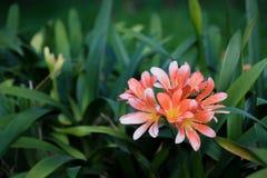 Natal Lily Bush Lily stockfotos