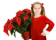 Natal: Menina bonito que guarda a grande poinsétia do feriado foto de stock royalty free