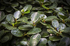 Natal plum, green leaf with water droplet. Stock Photo