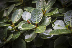 Natal plum, green leaf with water droplet. Natal plum, green leaf with water droplet, natural background Stock Photography