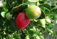 Natal plum, Large Num Num, Carissa macrocarpa Royalty Free Stock Images