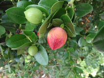 Natal plum, Large Num Num, Carissa macrocarpa Royalty Free Stock Photo
