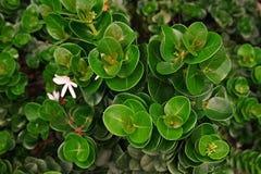 Natal Plum, nativo do arbusto a África do Sul fotografia de stock