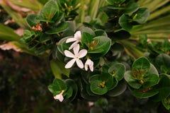 Natal Plum, nativo do arbusto a África do Sul foto de stock