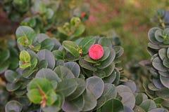 Natal Plum, nativo sempre-verde do arbusto a África do Sul fotos de stock