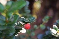 Natal Plum, nativo sempre-verde do arbusto a África do Sul imagens de stock royalty free