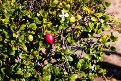 Natal Plum Plant with Red Fruit. Natal plum Carissa macrocarpa plant with red fruit and white flowers Stock Photos