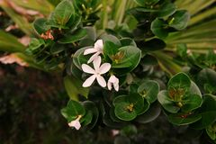 Natal Plum, shrub native to South Africa. Decoration plant for gardening Stock Photo