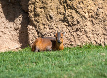 Natal Red Duiker Royalty Free Stock Images