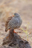 Natal Spurfowl Stock Photos