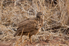 Natal spurfowl Royalty Free Stock Images