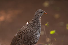 Natal spurfowl Royalty Free Stock Photography