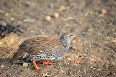 Natal Spurfowl (Pternistis natalensis) Royalty Free Stock Images