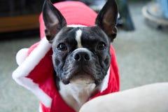 Natale Boston Terrier Fotografia Stock