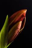 Natale Lily Bulb Immagine Stock Libera da Diritti
