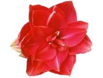 Natale rosso, Amaryllis rossa, rossa su backround bianco immagine stock
