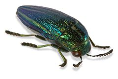 Natalensis de Amblysterna, escarabajo de la joya de África fotografía de archivo