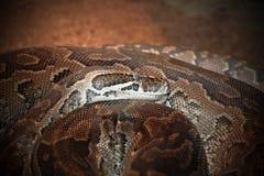 Natalensis de los sebae de Python Foto de archivo libre de regalías