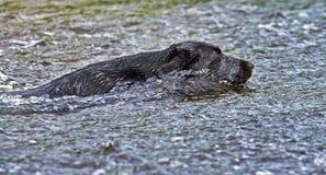 Natação do cão preto em águas ásperas HDR Imagens de Stock