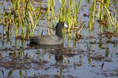 Natação do galeirão americano na lagoa entre gramas, juncos e o outro aq Imagens de Stock Royalty Free
