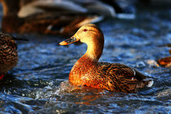 Natação do pato na lagoa fria Foto de Stock