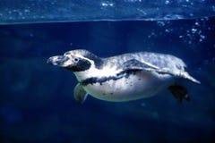 Natação subaquática azul do pinguim sob o surfa da água Imagem de Stock Royalty Free