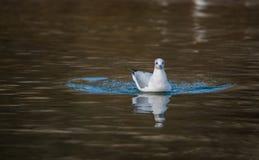 Natation à tête noire juvénile de mouette sur le lac photographie stock libre de droits