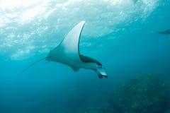 Natation énorme de raie de manta dans l'océan Image libre de droits