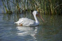 Natation américaine de pélican blanc dans le lac Chapala Photographie stock libre de droits