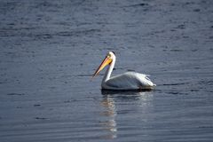 Natation américaine de pélican blanc sur le lac photographie stock libre de droits
