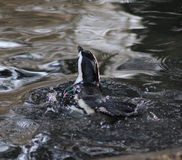 Natation aux pieds noire de pingouin Photos libres de droits