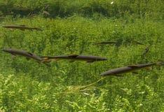 Natation avec des amis de lac Image stock