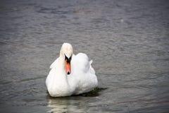 Natation blanche élégante de cygne sur l'eau photos libres de droits