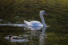 Natation blanche d'oie sur un étang vert image stock