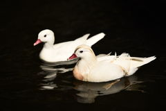 Natation blanche de canards Photos libres de droits