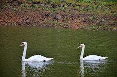 Natation blanche de cygne au lac du réservoir en Pang Ung Photographie stock libre de droits