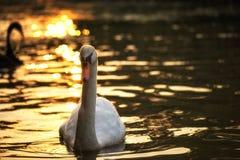 natation blanche de cygne avec le bokeh de coucher du soleil photographie stock libre de droits