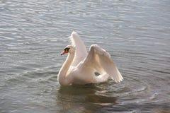 Natation blanche de cygne dans le lac tout en s'agitant s'envole dans le coucher du soleil Photo stock