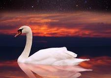 Natation blanche de cygne dans un étang au coucher du soleil Photo stock