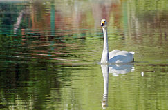 Natation blanche de cygne sur un lac Photos stock