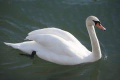 Natation blanche gracieuse de cygne muet l'été de lac Images libres de droits